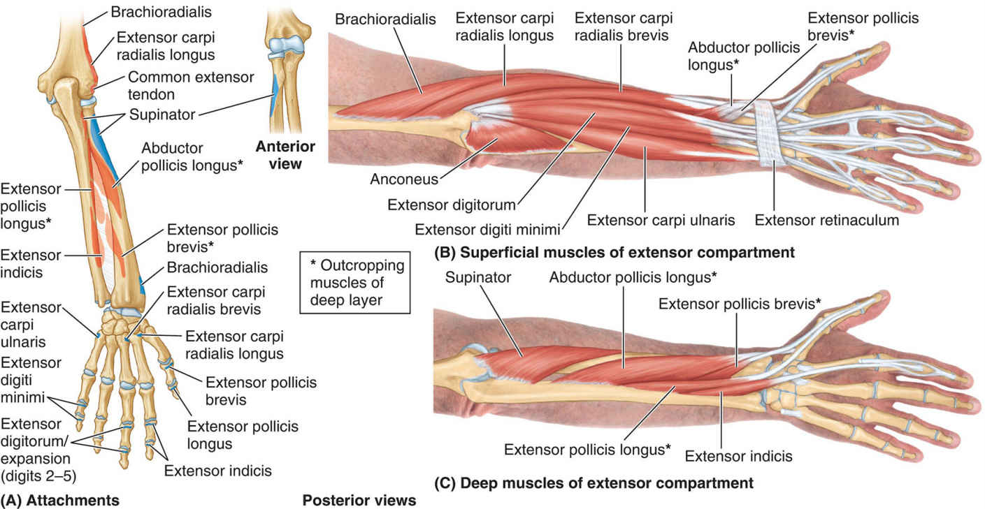 Extensor Muscles Of Forearm