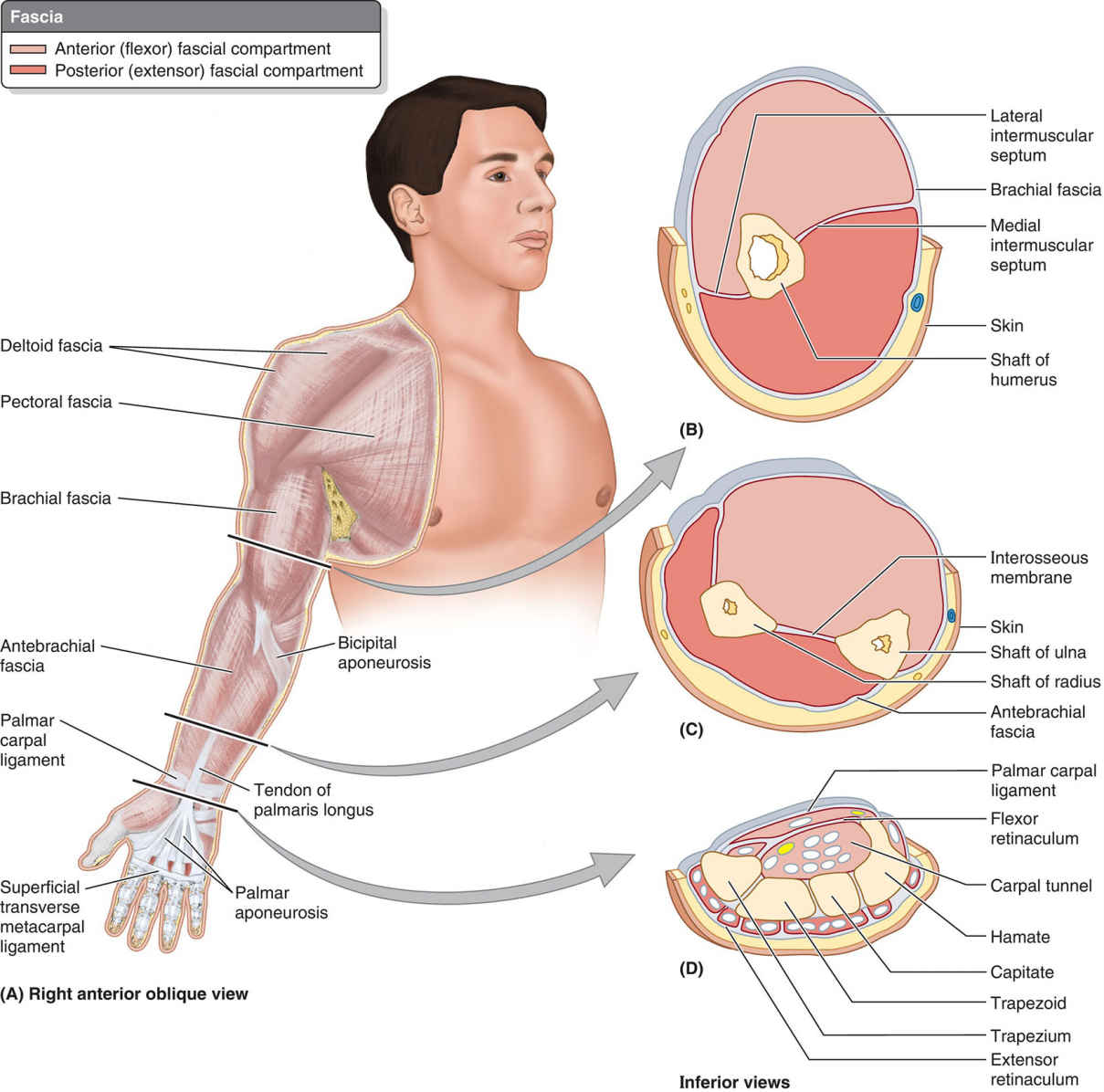 Fascia And Compartments Of Upper Limb Anatomical Diagram