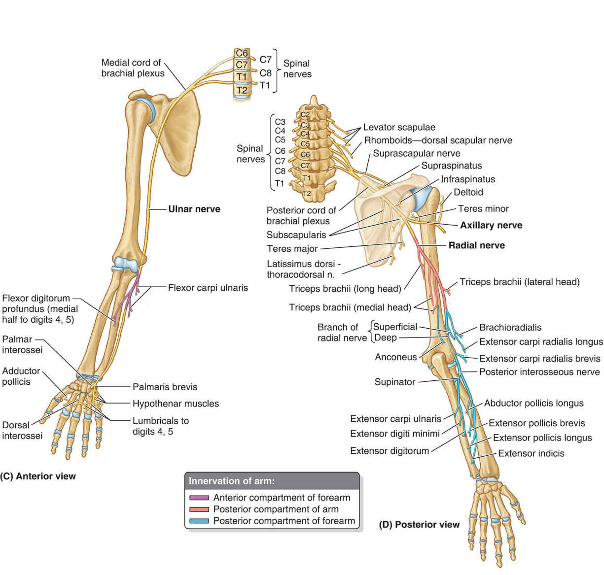 Innervation Of Arm Anatomy Diagram