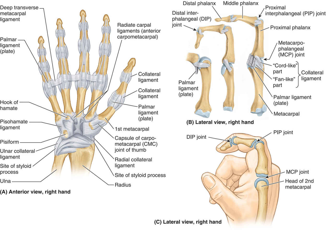 Joints Of Hand Anterior View, Lateral View, Right Hand
