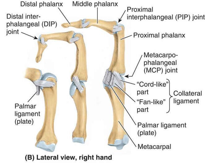 Lateral View Of Right Hand Finger Bone