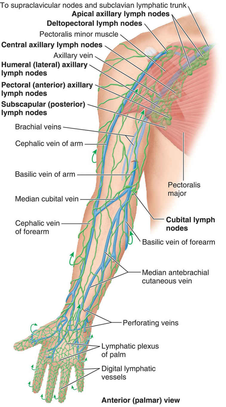 Lymphatic Drainage Of Upper Limb Anatomy