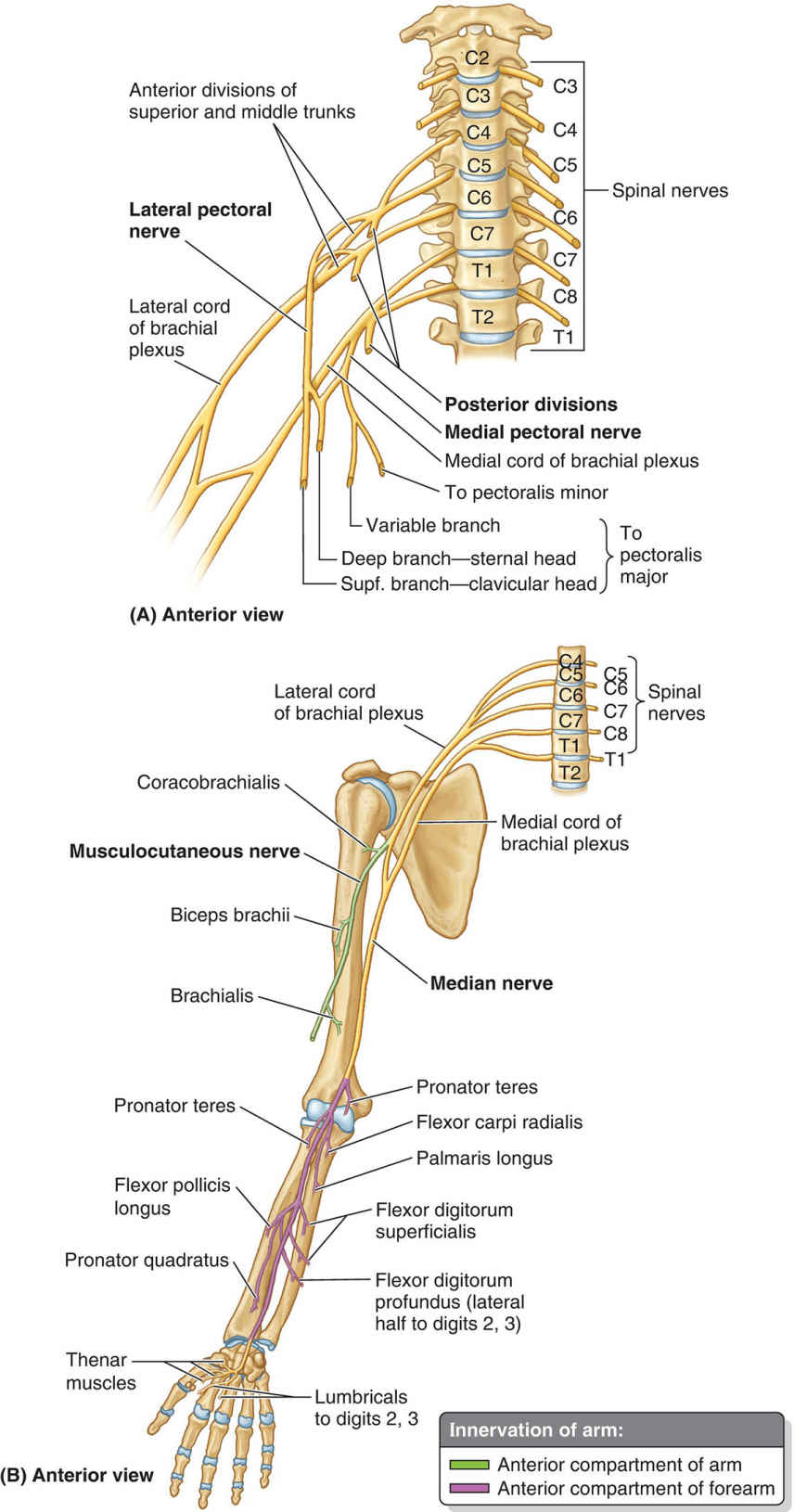 Motor Branches Derived From Cords Of Brachial Plexus Diagram