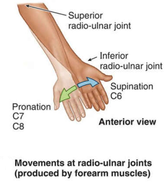 Movements At Radio-ulnar Joints Produced By Forearm Muscles