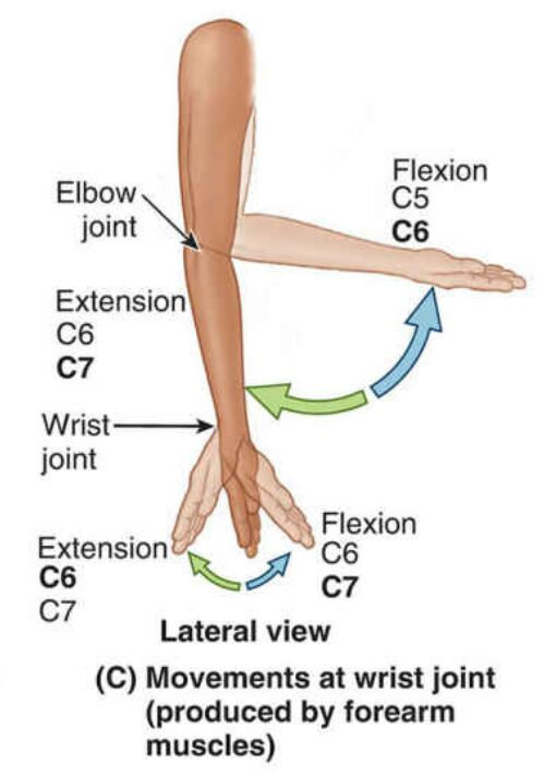 Movements At Wrist Joint Produced By Forearm Muscles