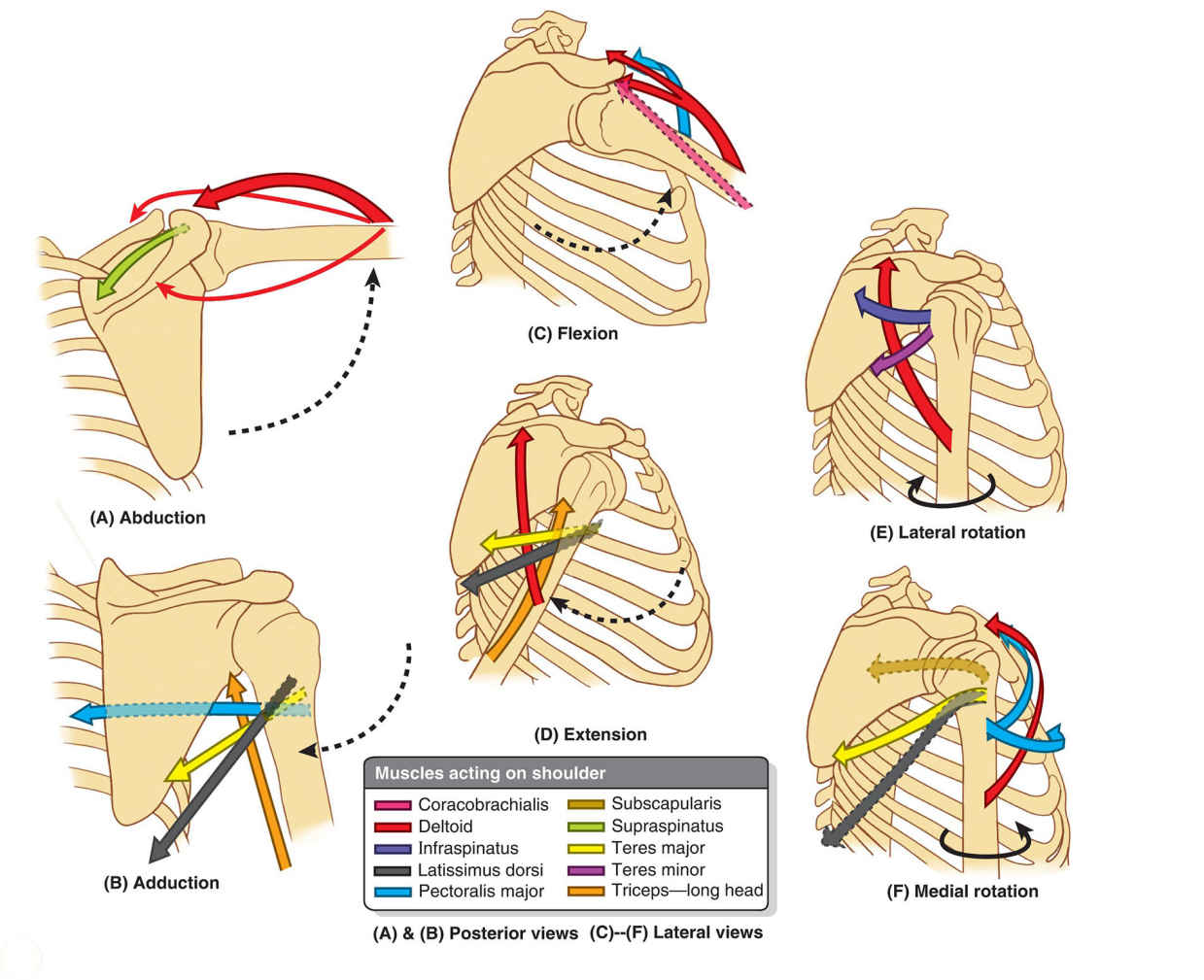 Movements Of Glenohumeral Joint