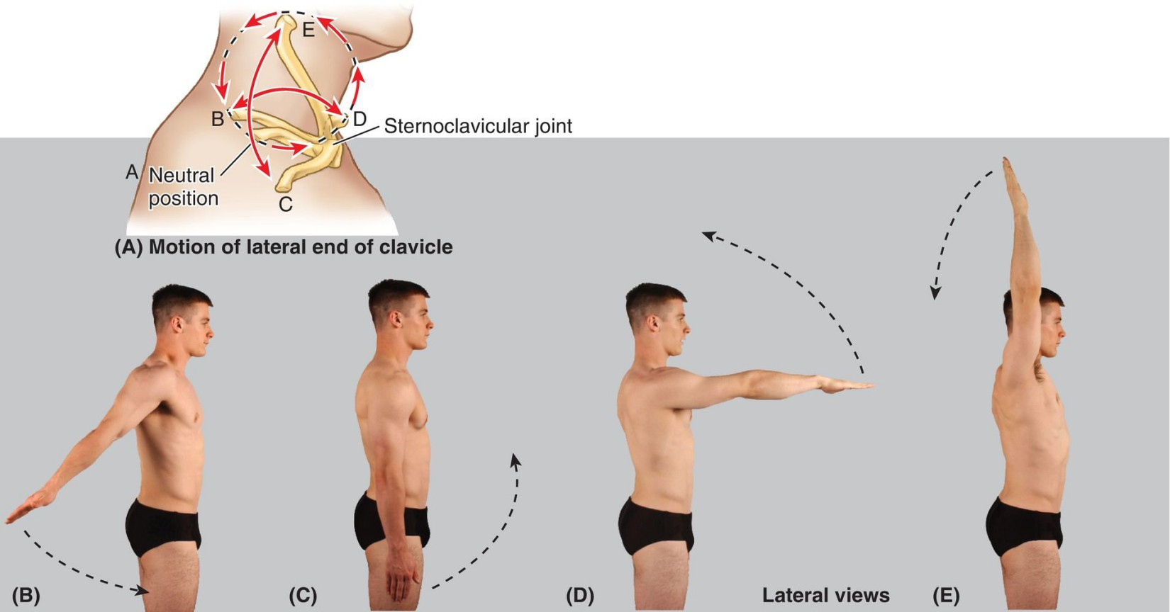 Movements Of Upper Limb At Joints Of Pectoral Girdle