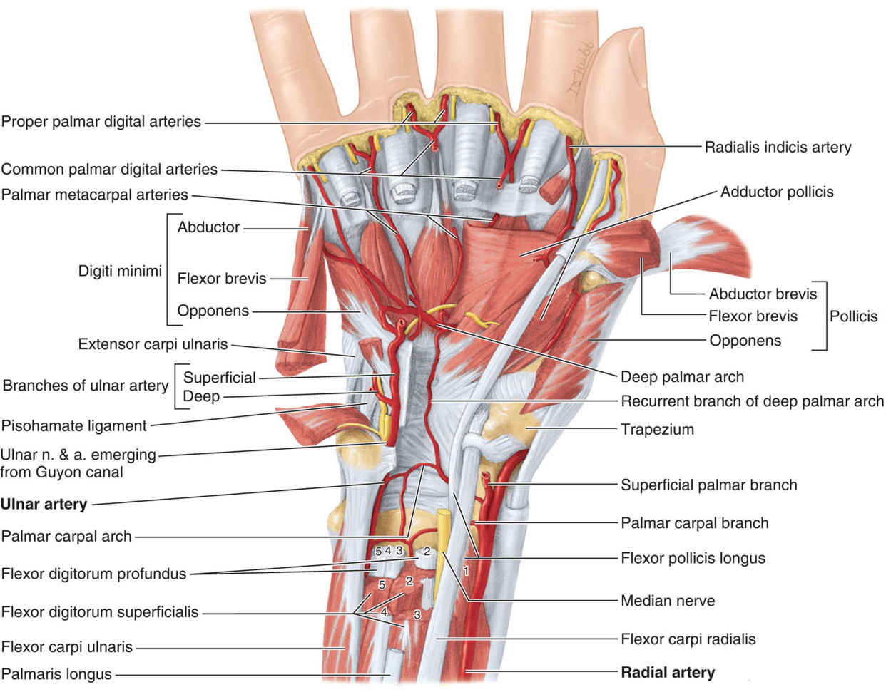 Muscles And Arteries Of Distal Forearm And Deep Palm