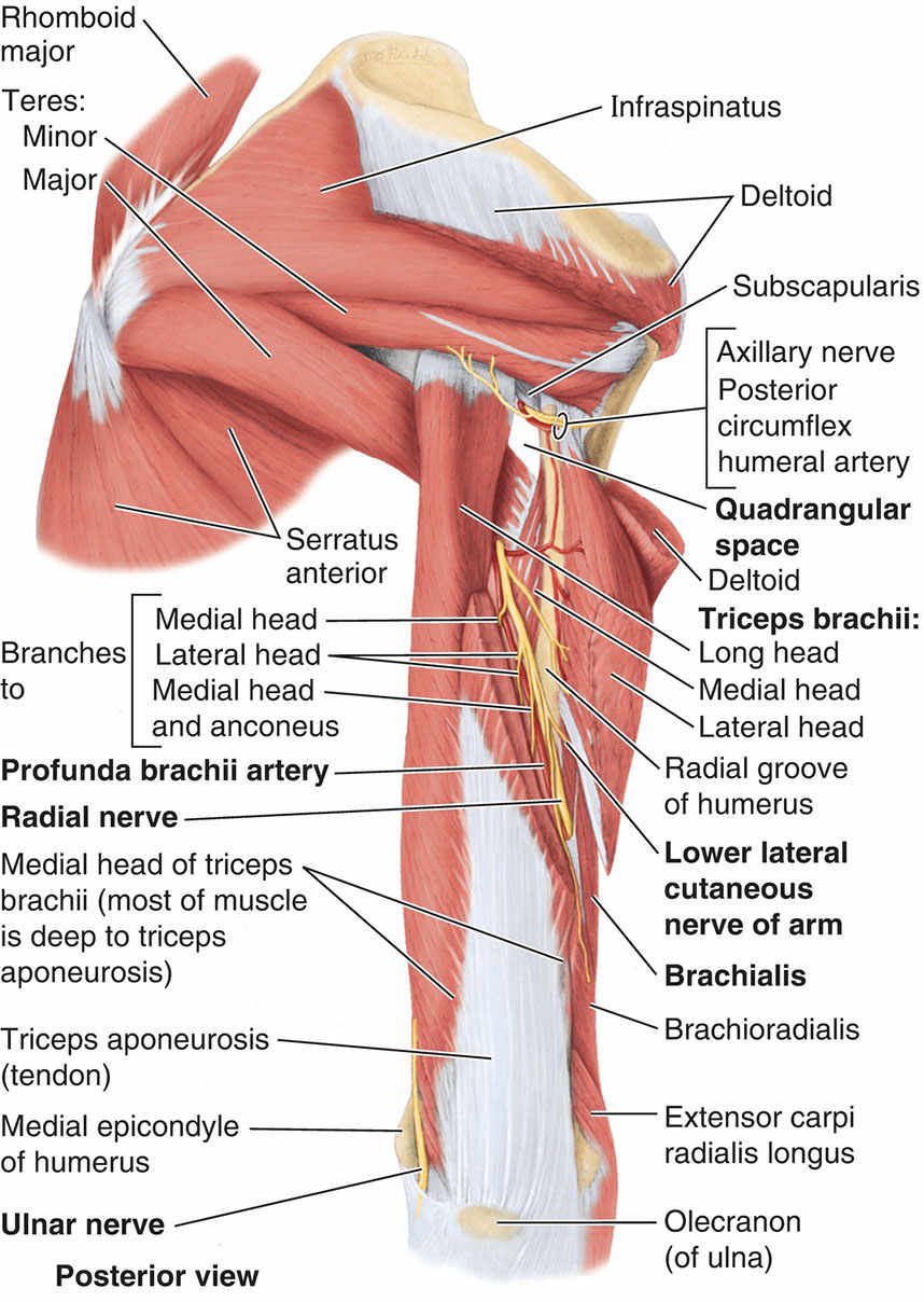 Muscles Of Scapular Region And Posterior Region Of Arm Diagram