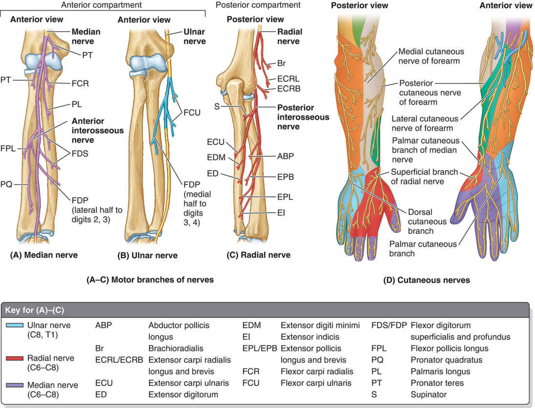 Nerves Of Forearm Motor Branches And Cutaneous Nerves Diagram