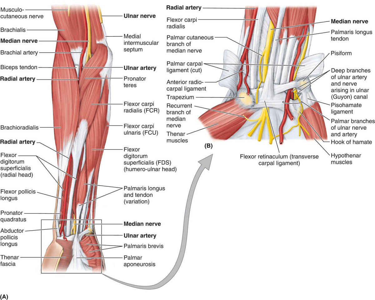 Neurovascular Structures In Anterior Aspect Of Forearm And Wrist