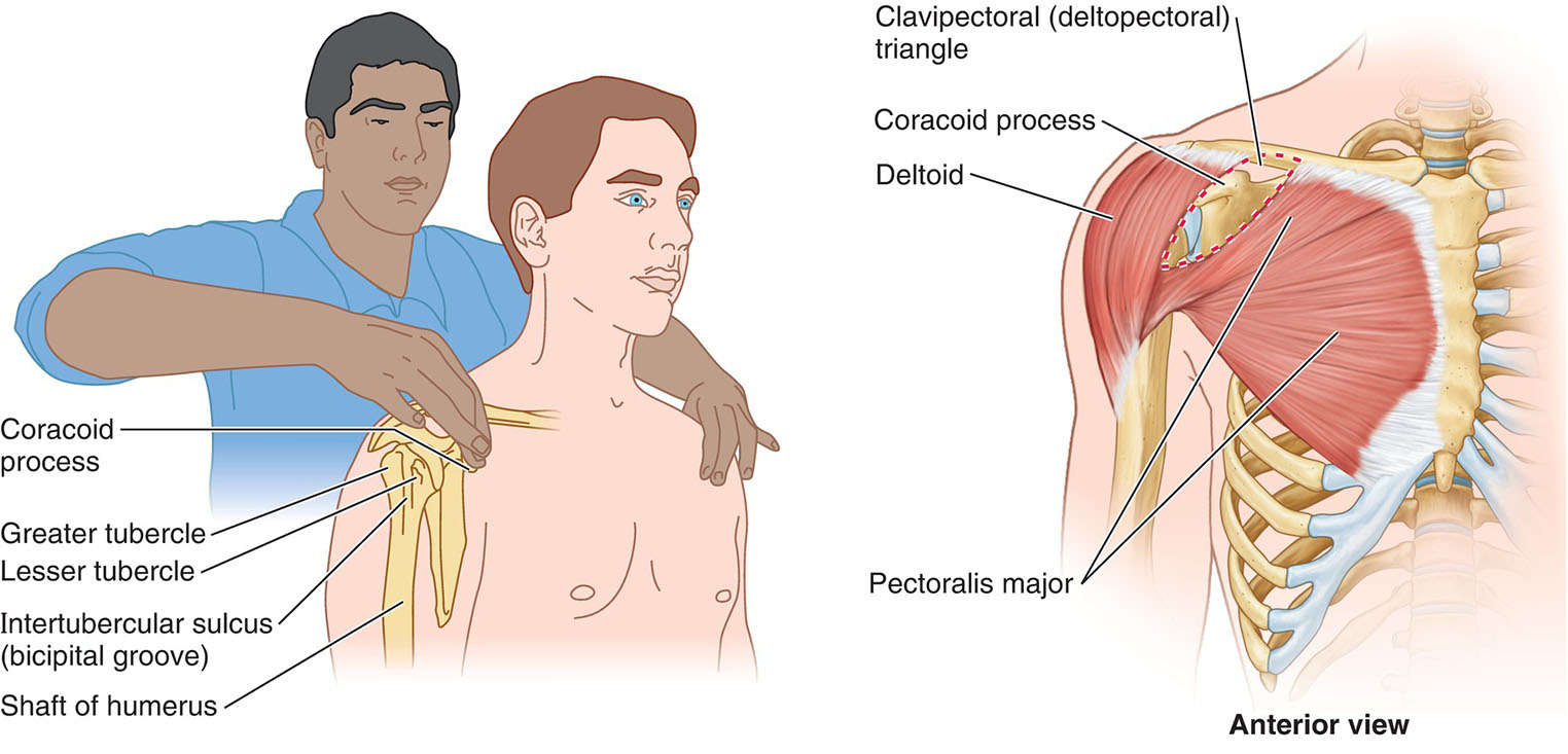 Palpation Of Coracoid Process Of Scapula