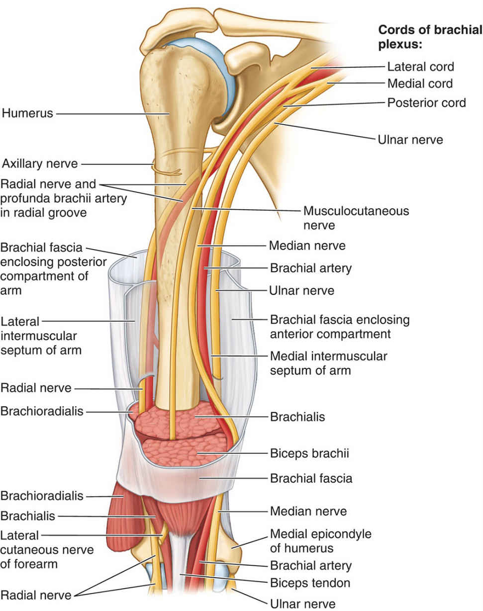 Relationship Of Arteries And Nerves Of Arm
