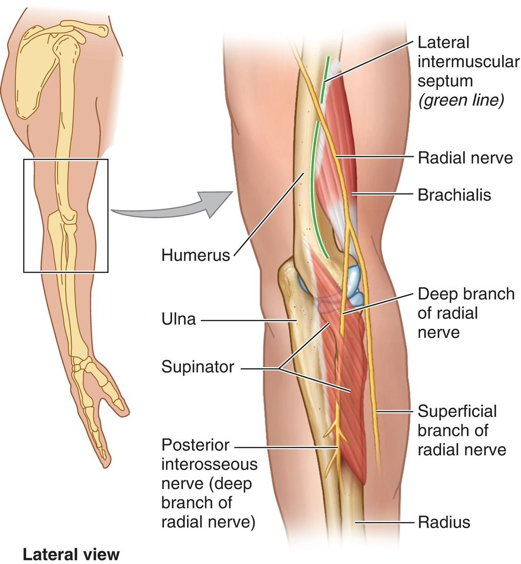 Relationship Of Radial Nerve To Brachialis And Supinator Muscles