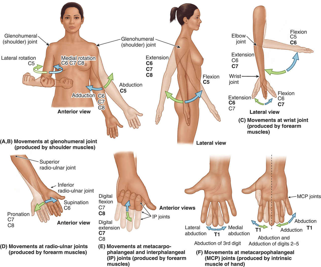 Segmental Innervation Of Movements Of The Upper Limb Anatomy
