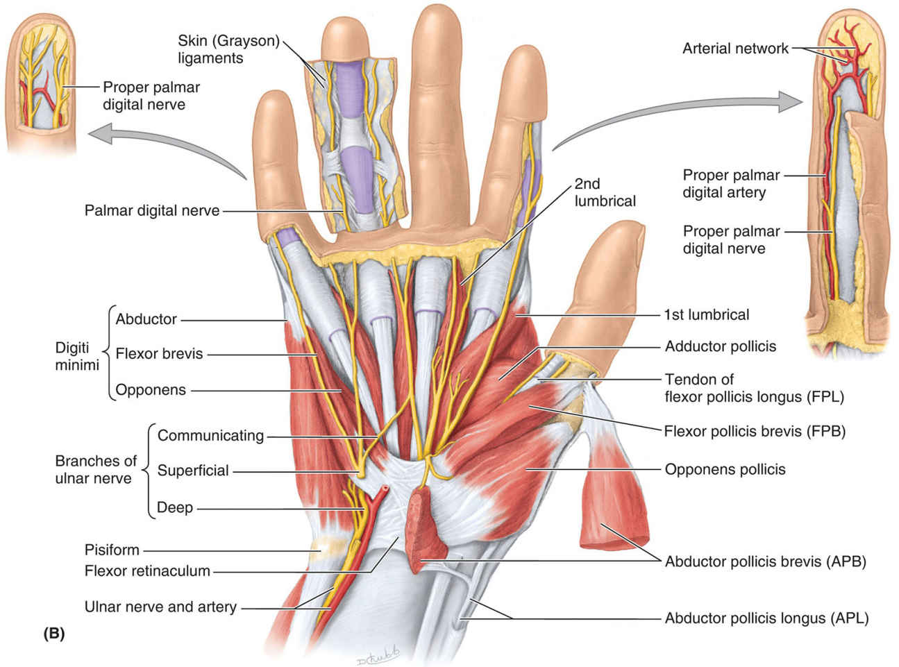 Superficial Dissections Of Right Palm Diagram B