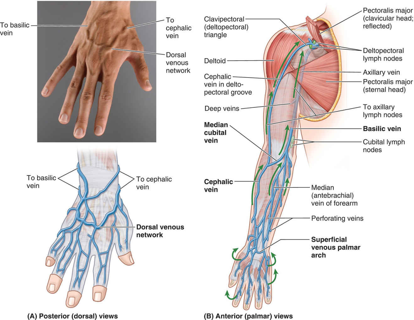 Superficial Veins And Lymph Nodes Of Upper Limb Anatomical Diagram