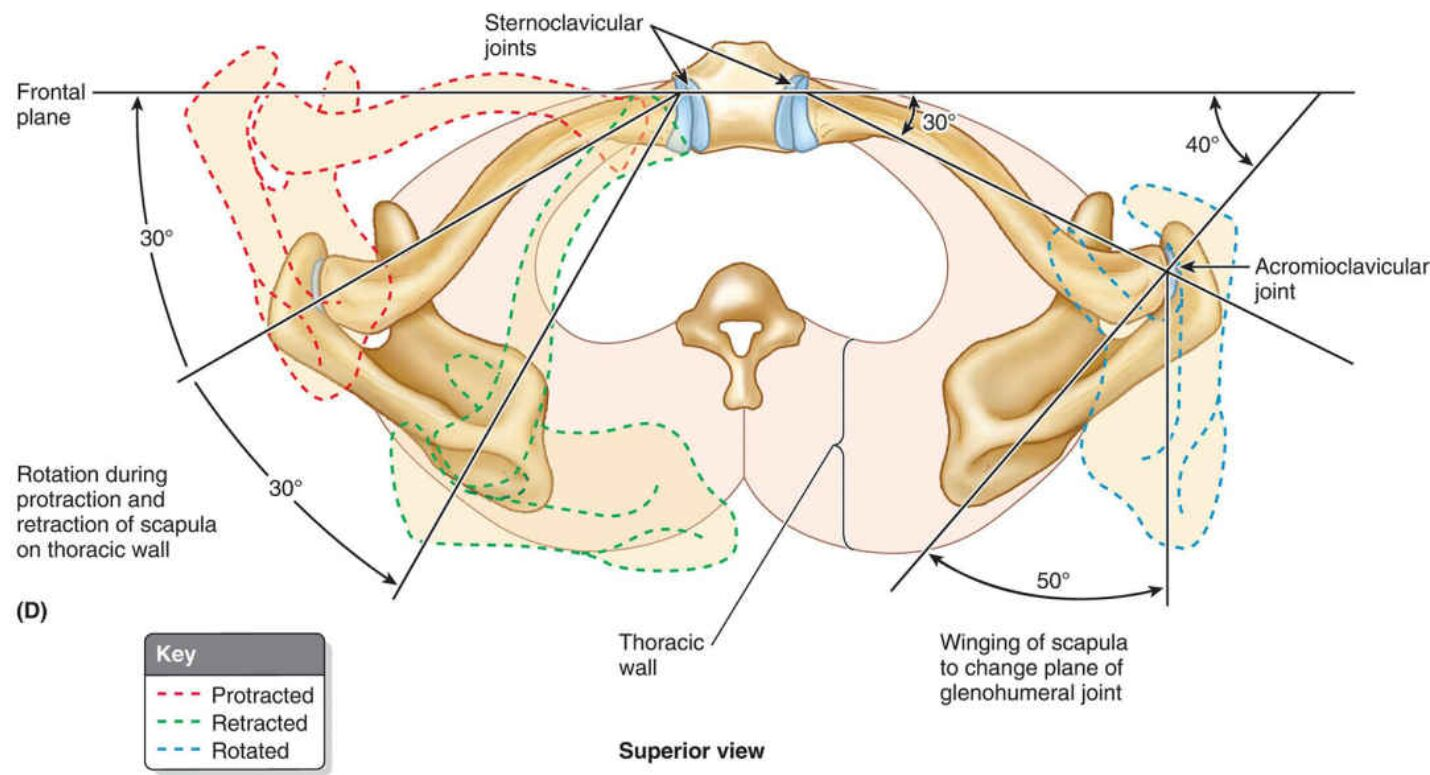 Superior Sectional View Of Clavicle And Scapula
