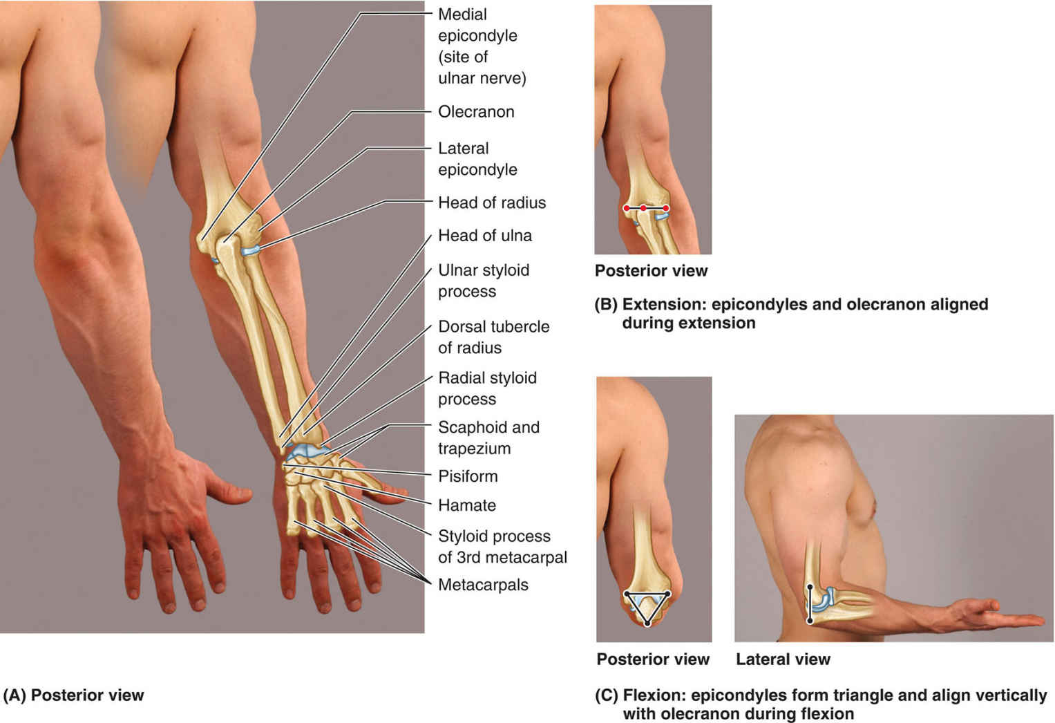 Surface Anatomy Of Bones And Bony Formations Of Elbow Region