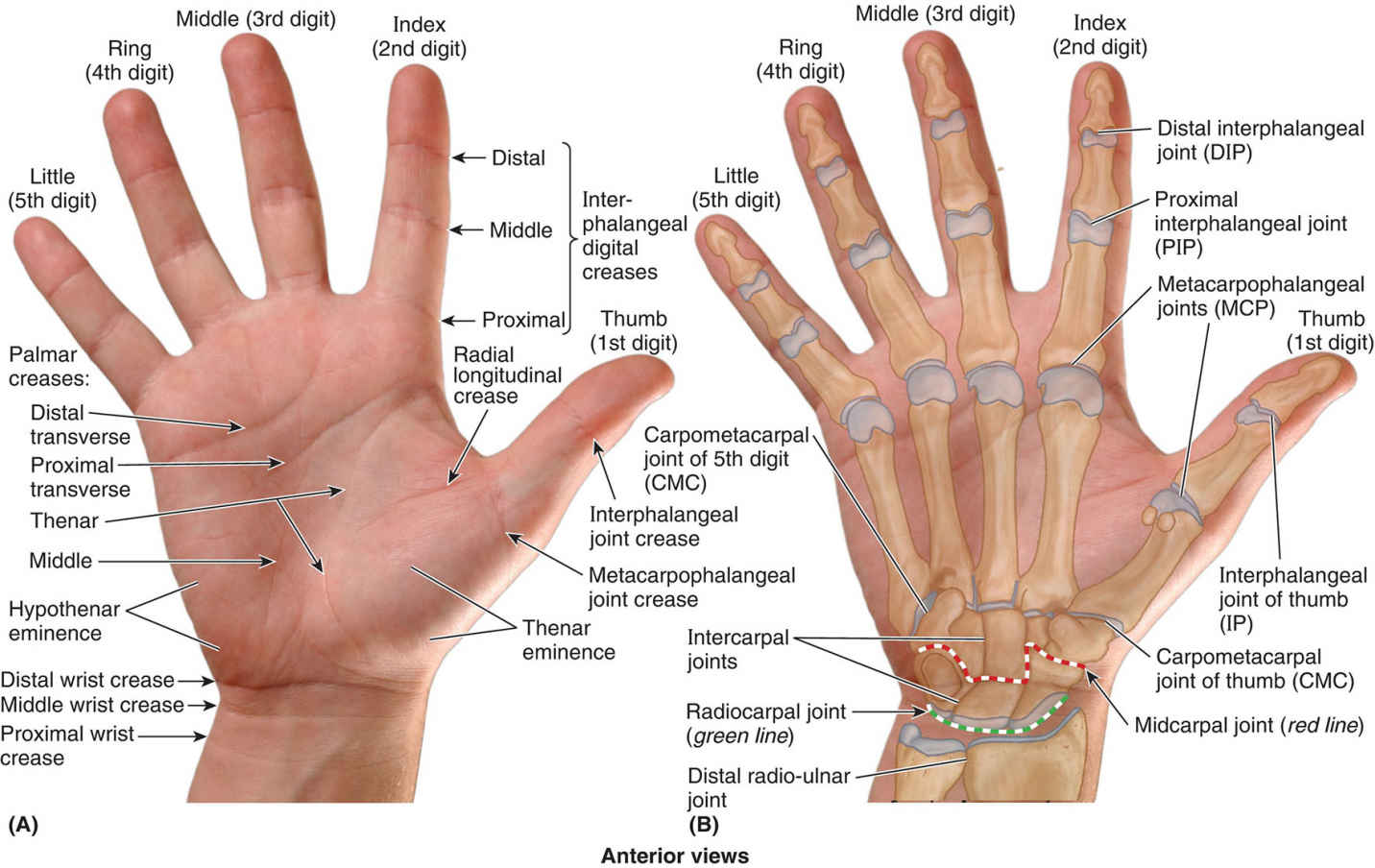 Surface Anatomy Of Palmar Aspect Of Hand Diagram