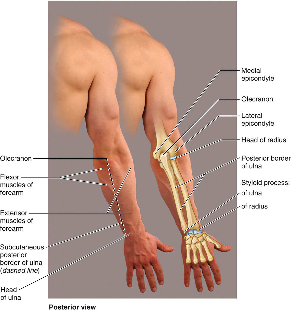 Surface Anatomy Of Posterior Forearm Diagram