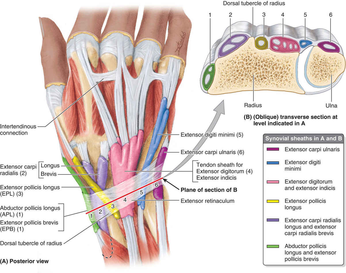 Synovial Sheaths And Tendons On Distal Forearm And Dorsum Of Hand