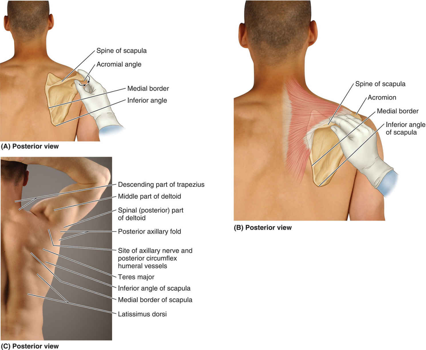 Surface Anatomy Of Scapula And Scapular Region Diagram