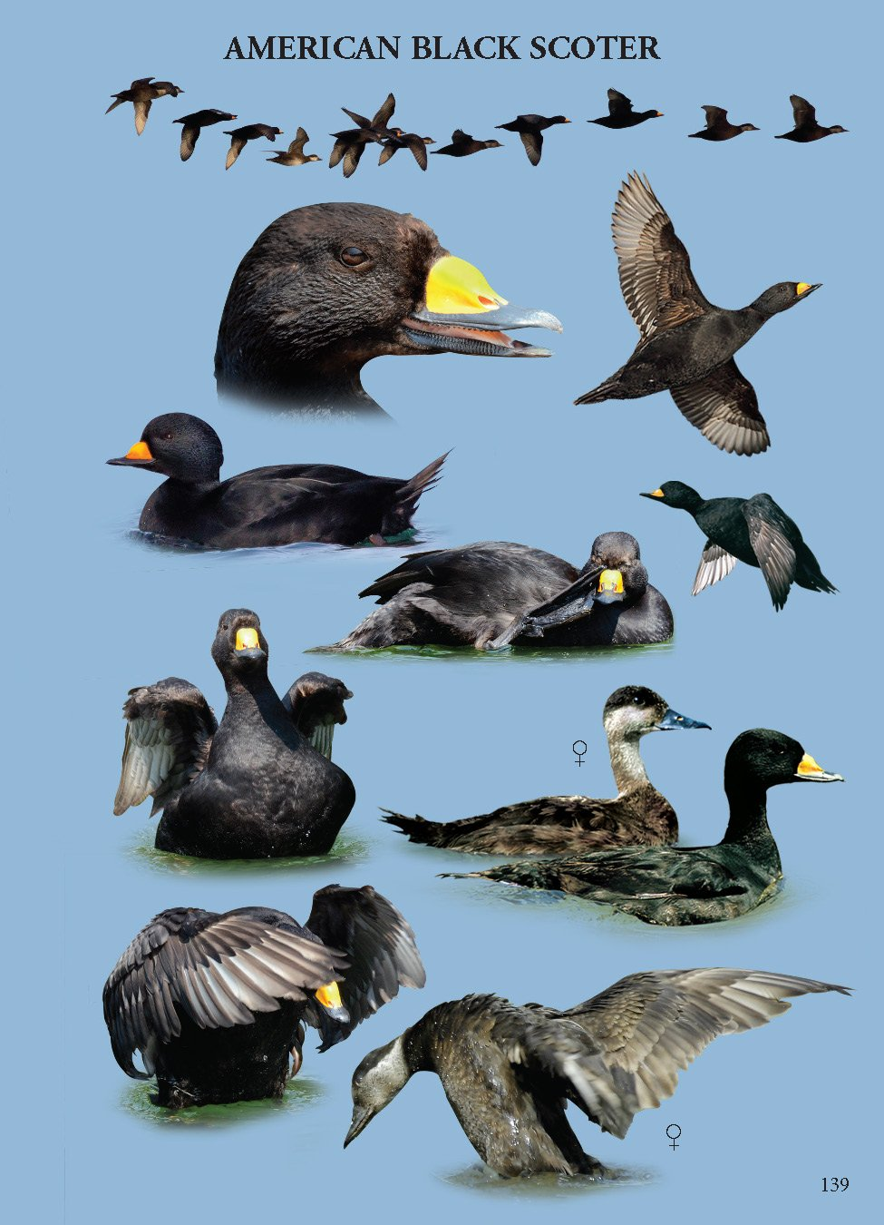 American Black Scoter Anatomy