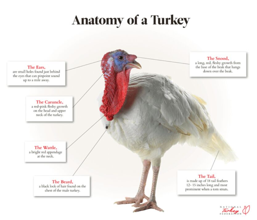 Anatomy Of A White Turkey