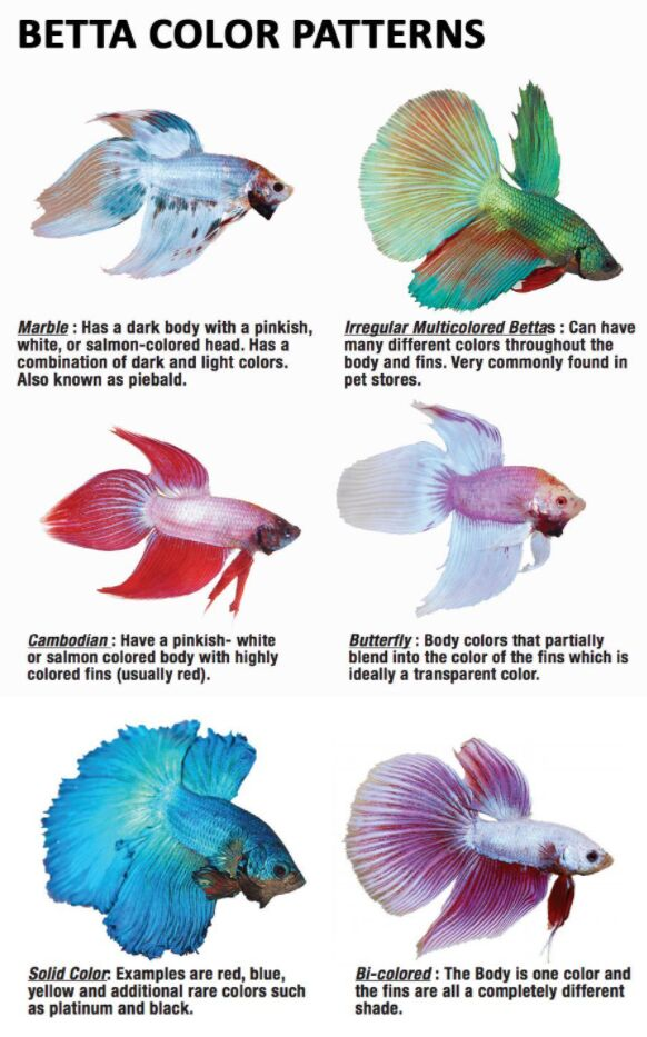 Betta Fish Color Patterns Types