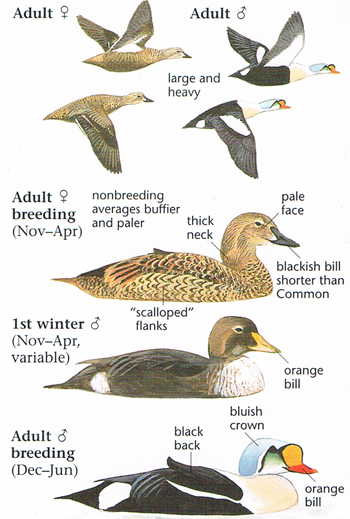 Different Types Of King Eider Diagram