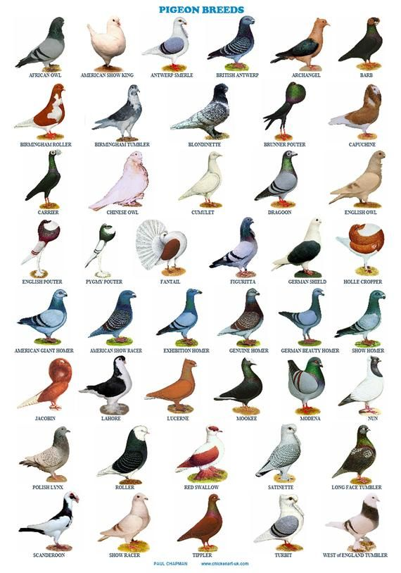 Different Types Of Pigeon Columba Livia