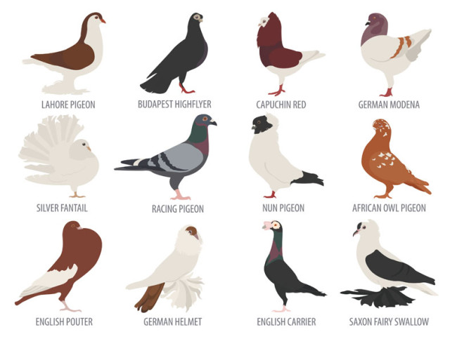 Different Types Of Pigeons