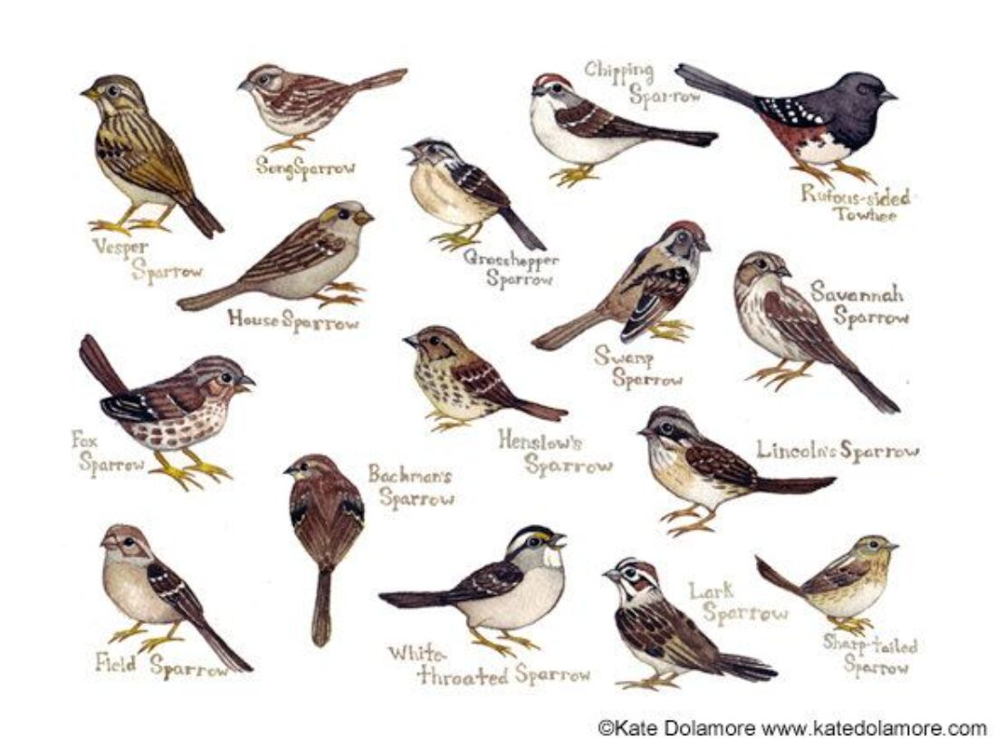 Different Types Of Sparrow