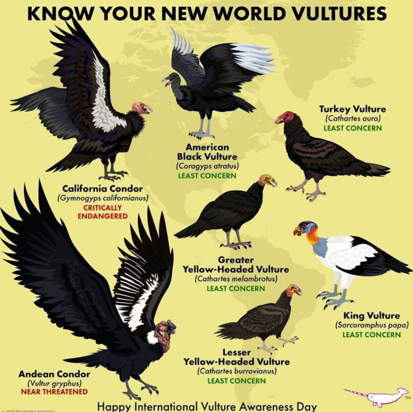 Different Types Of Vultures