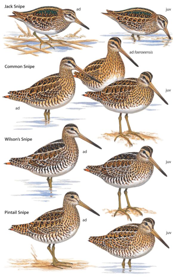 Pin-tailed Snipe Different Types