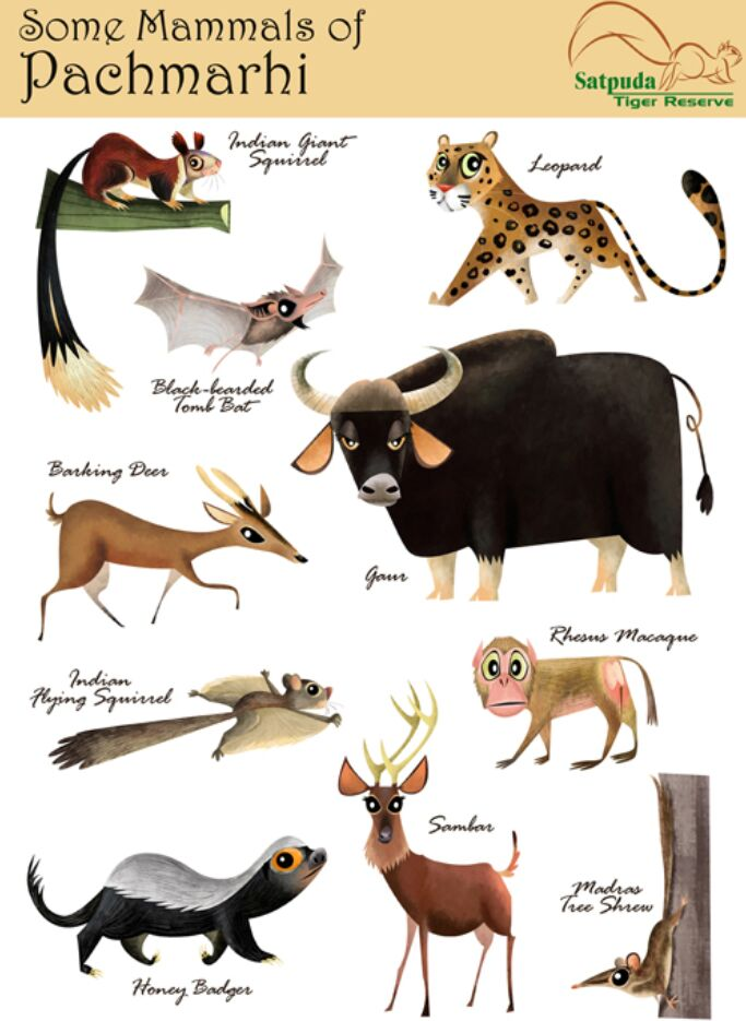 Some Mammals Of Pachmarhi
