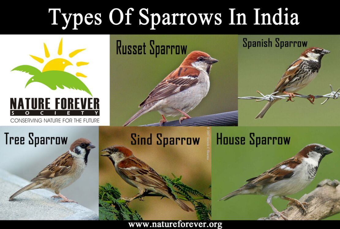 Types Of Sparrows In India
