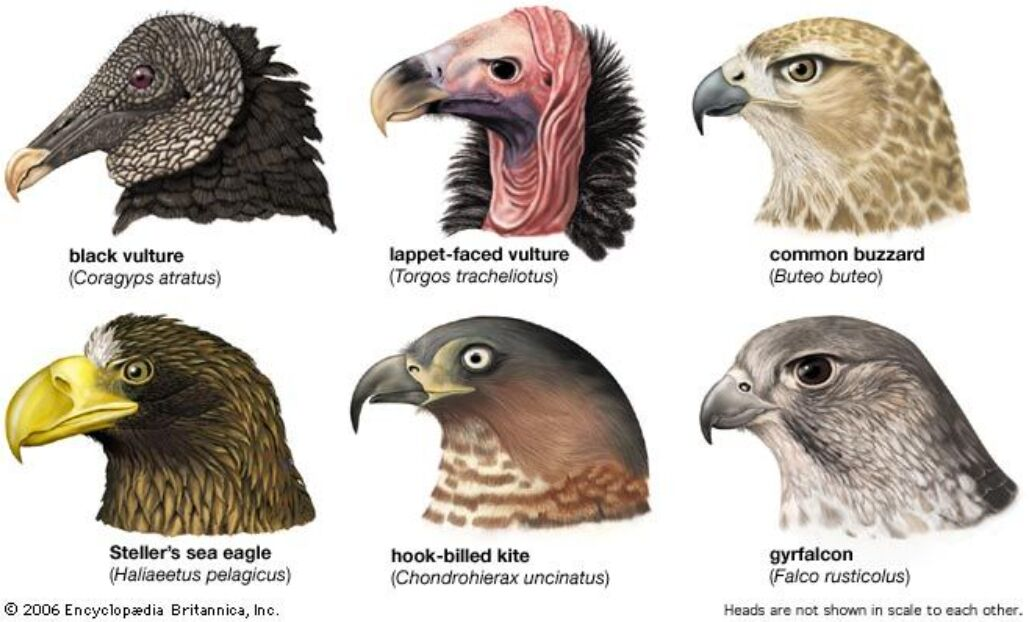 Vultures Different Types