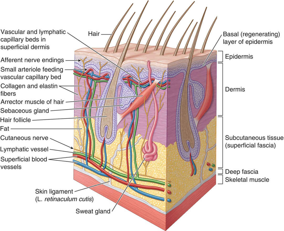 Skin And Some Of Its Specialized Structures