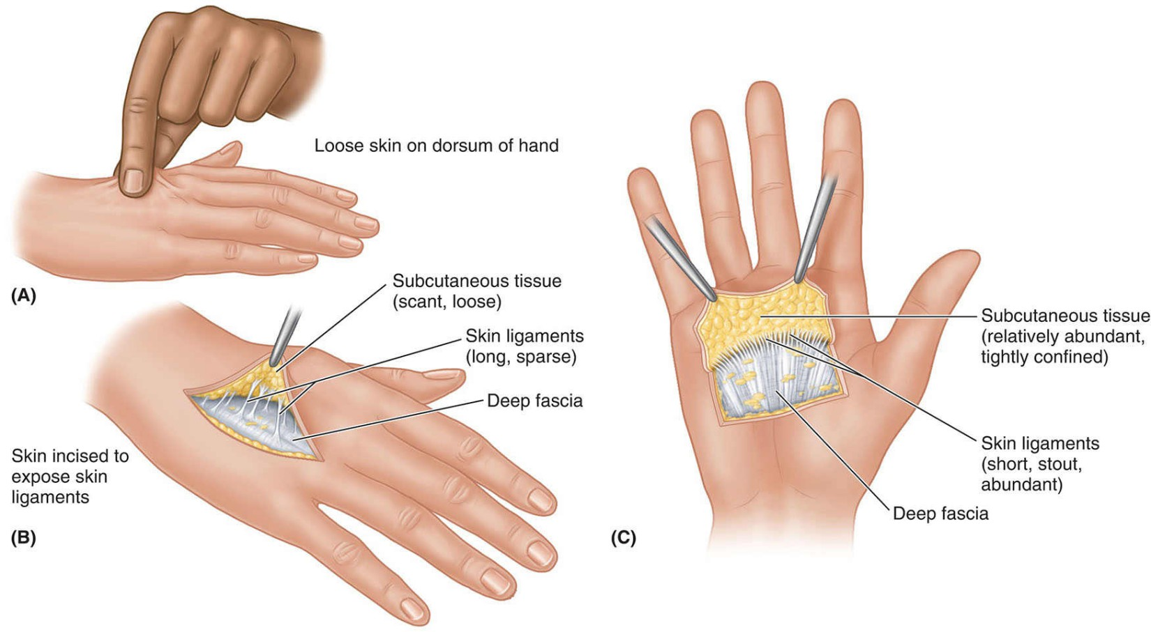 Skin Ligaments In Subcutaneous Tissue