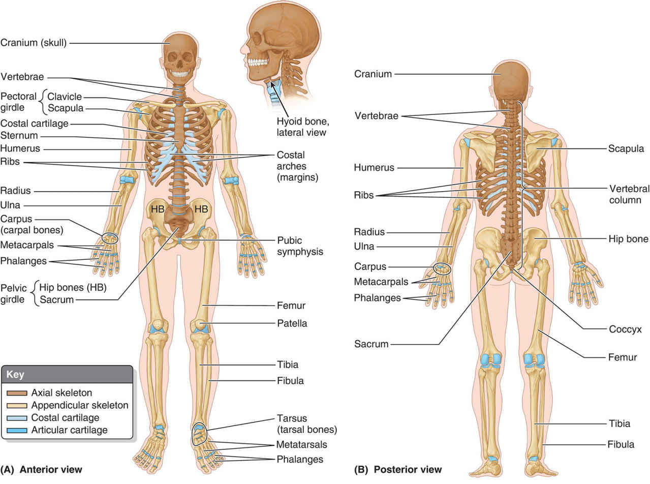 The Human Body Skeletal System Anterior View And Posterior View