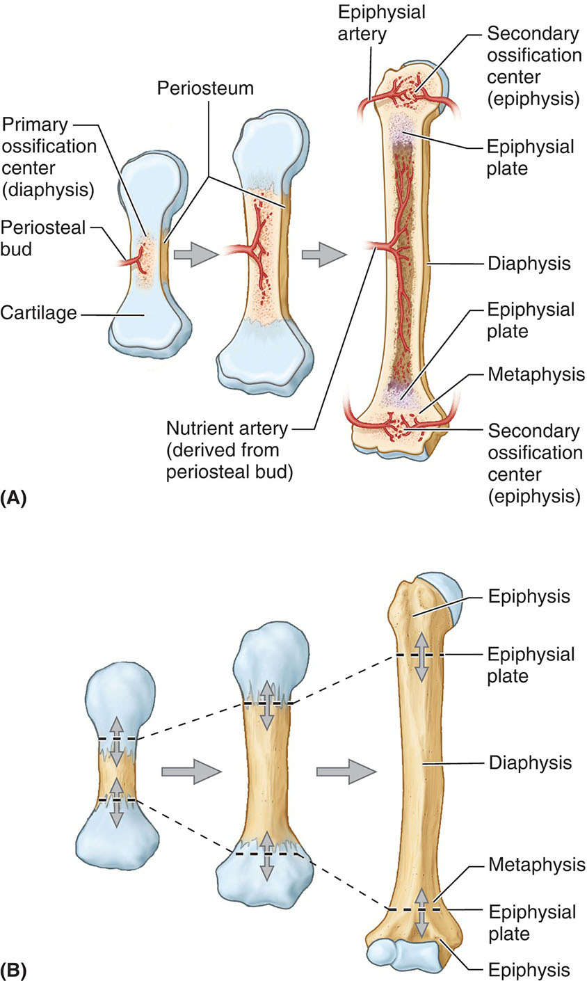 Development And Growth Of A Long Bone