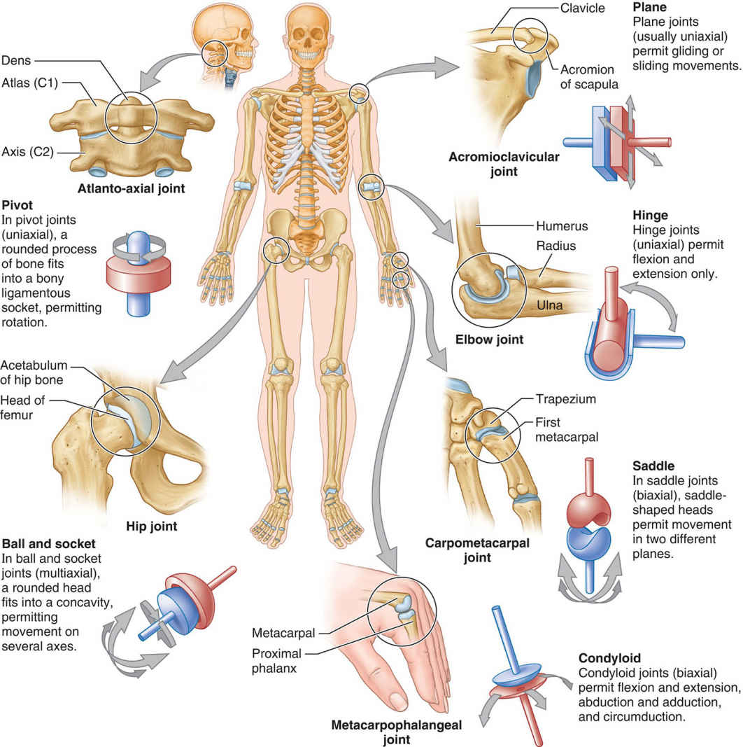The Six Types Of Synovial Joints
