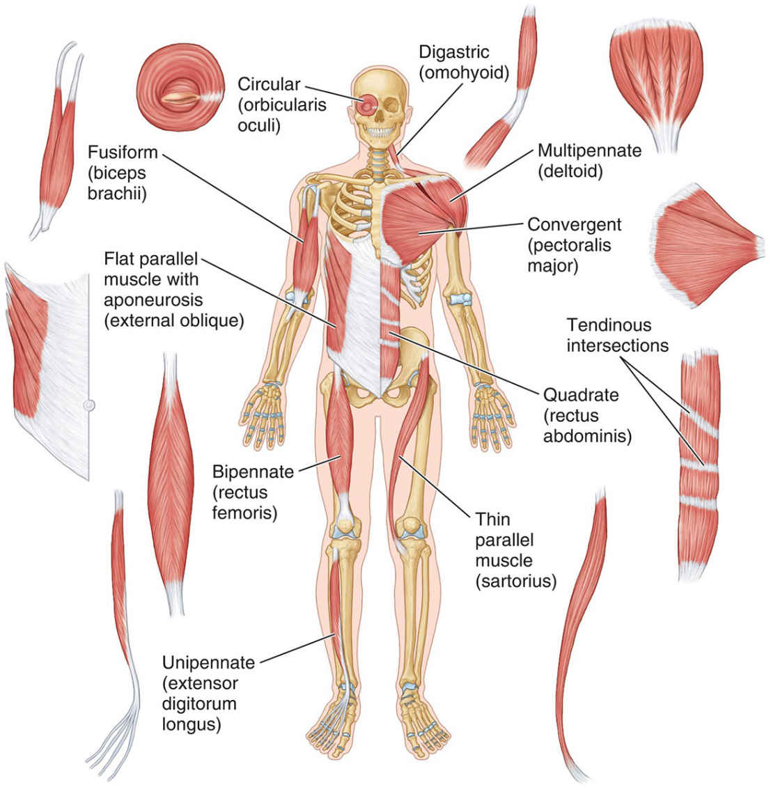 Architecture And Shape Of Skeletal Muscles