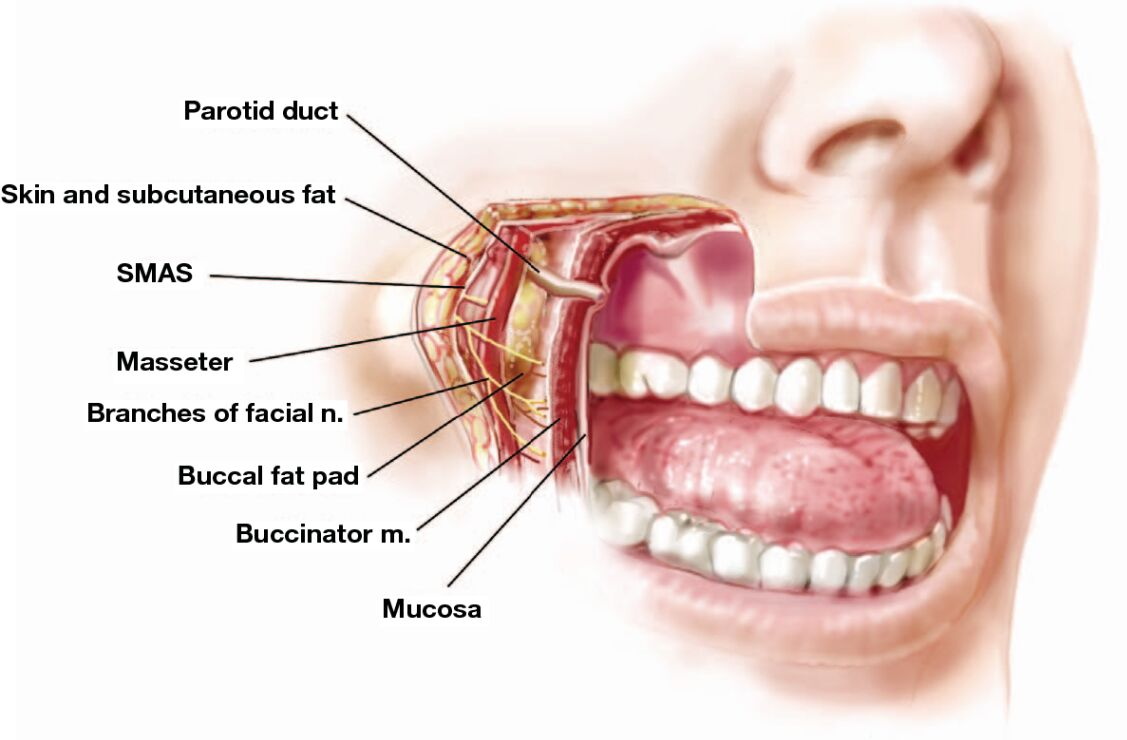 Facial Anatomy And Buccal Fat Pad Relation