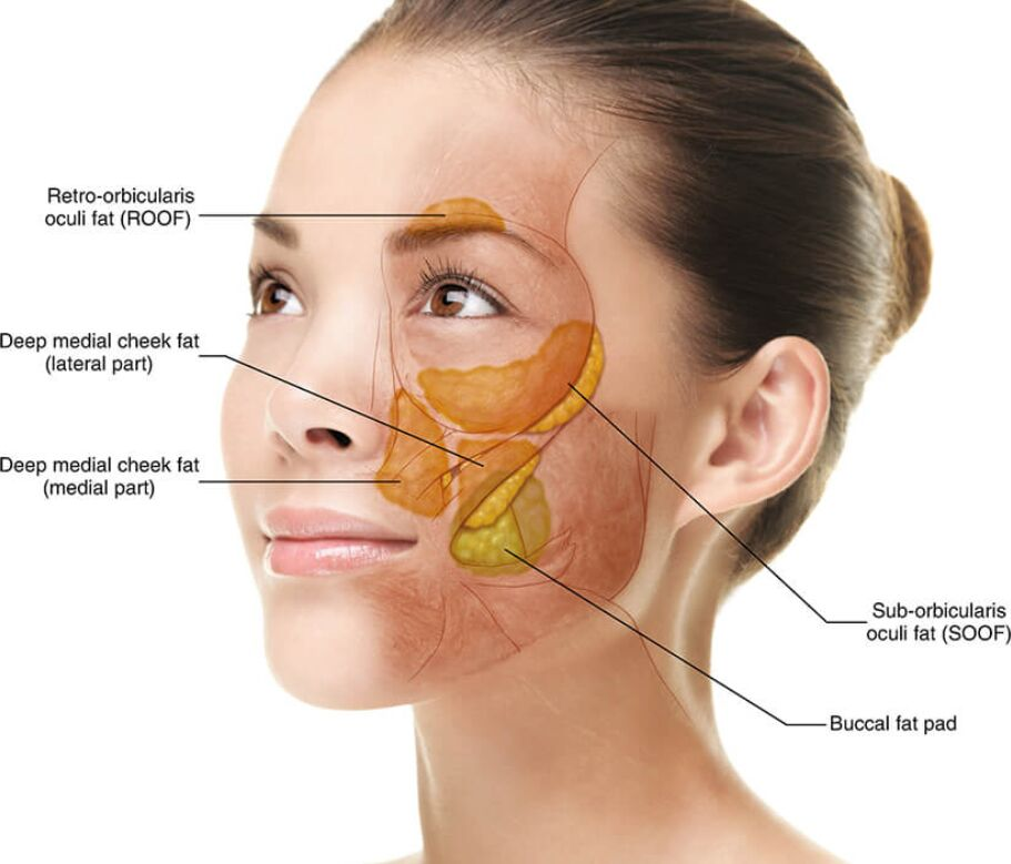 Different Fat Tissue On The Human Face Anatomy
