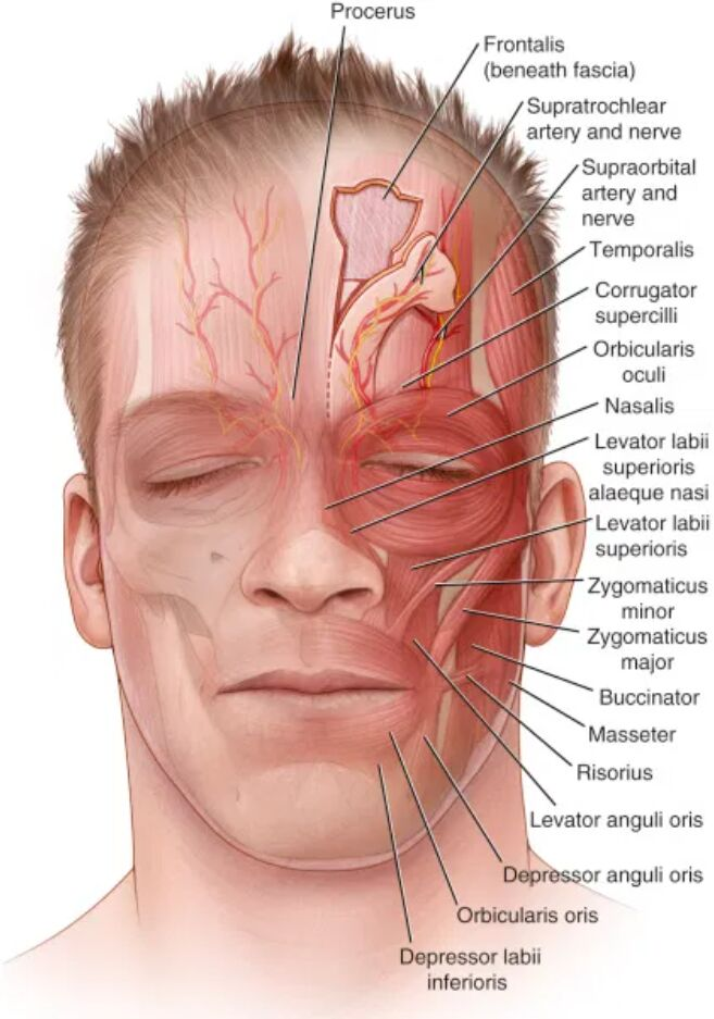 Forehead, Submental, Nasolabial And Face Muscles, Nerves, Artery Anatomical View