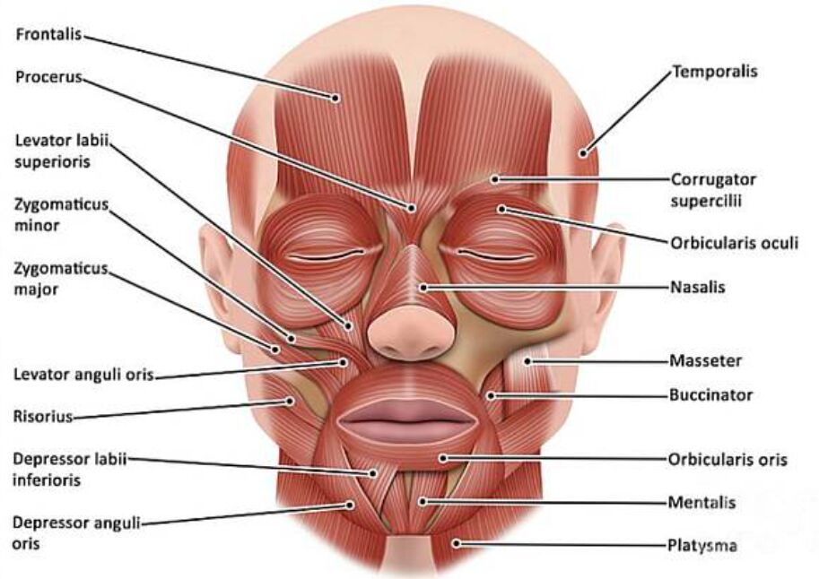Frontalis Muscles – Head Muscles Anterior View Anatomical Structure