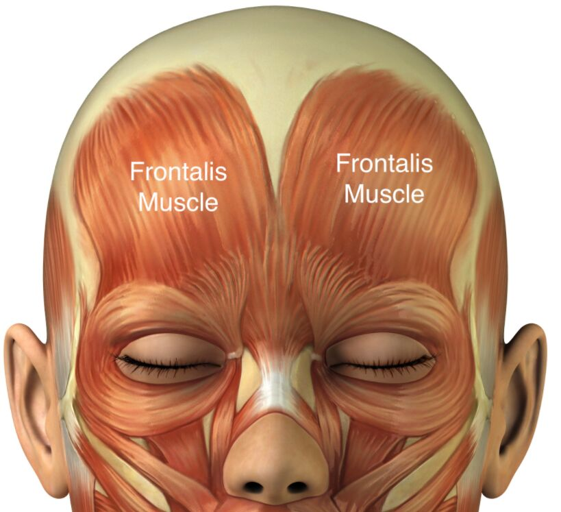 Frontalis Muscles Location
